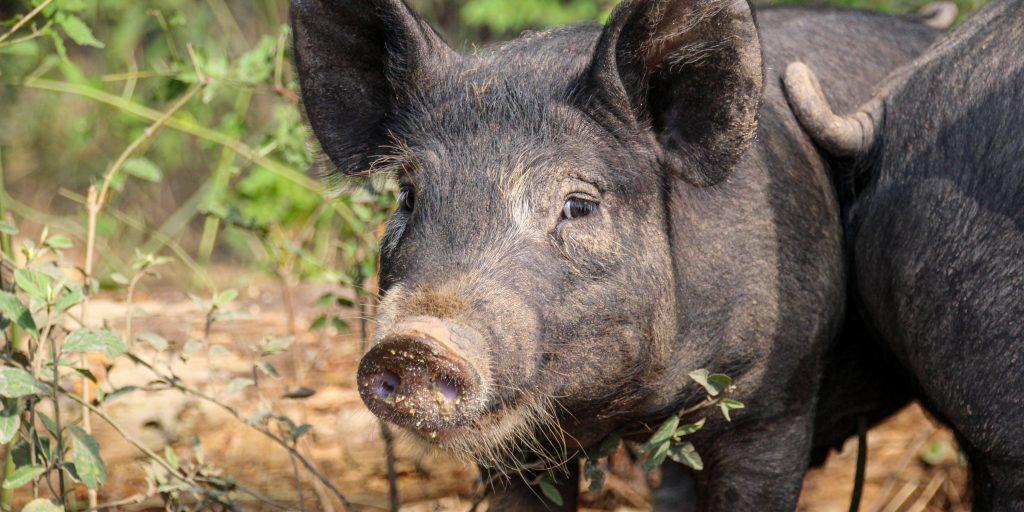 pastured pork